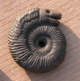 An image of an ammonite with the head of a snake engraved on it